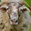 laine de mouton