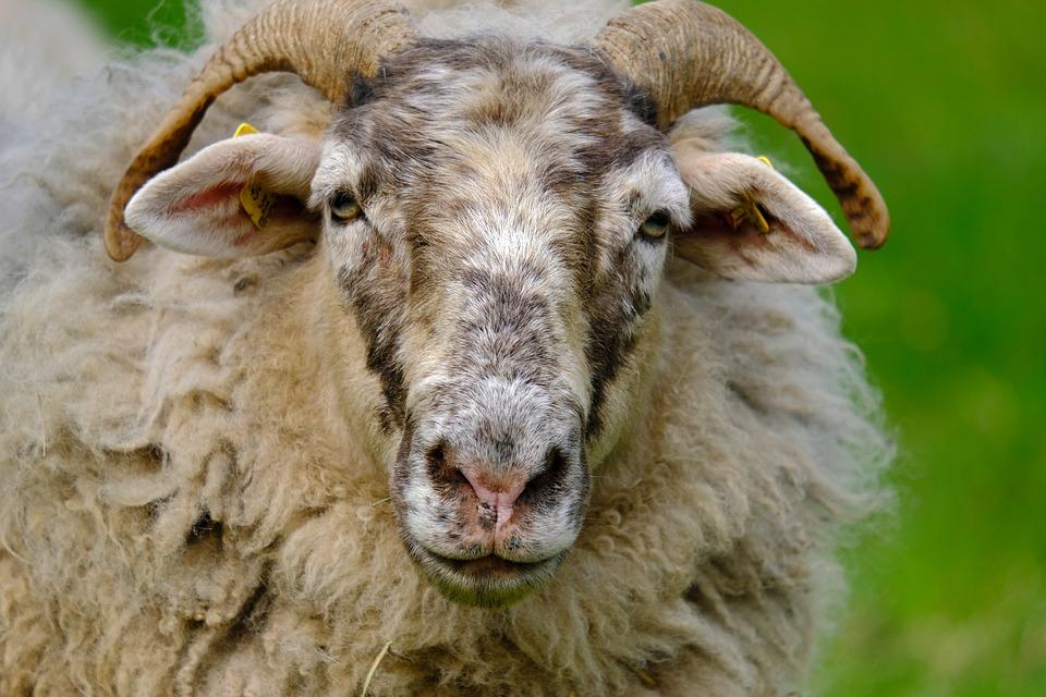 A quoi sert la laine du mouton?